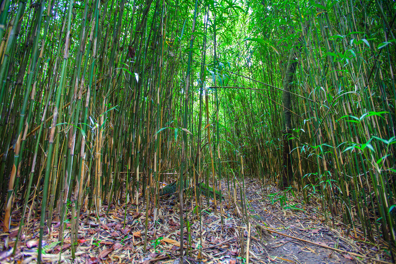 Bamboo Forest, Big Island of Hawaii.