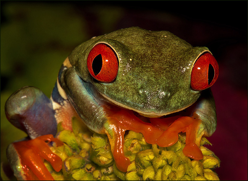 Red eyed tree frog - N