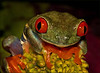Red eyed tree frog - N