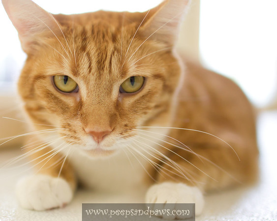 Peaches - a 4 yr old female feline at the Lexington Humane Society looking for her human to purr the rest of her life with.  She's SO SWEET!