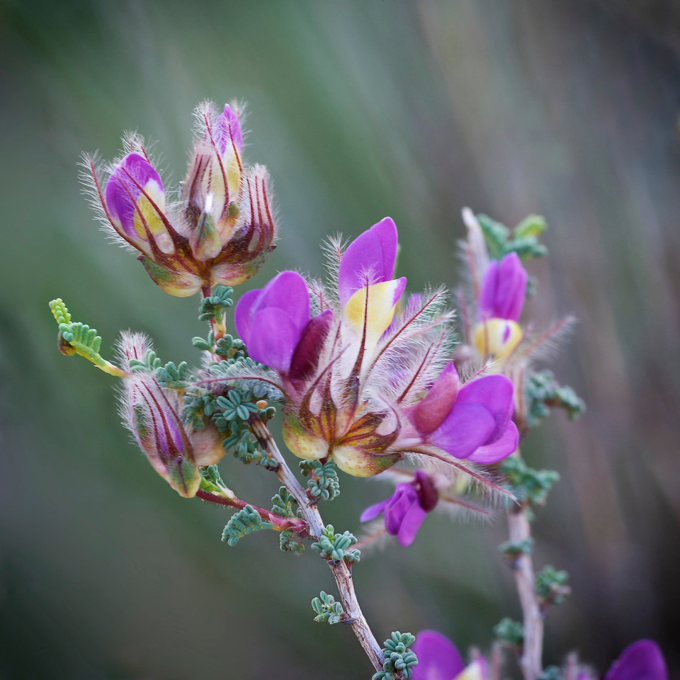 Feather Dalea<br /> Palo Duro Canyon<br /> Texas<br /> 2013