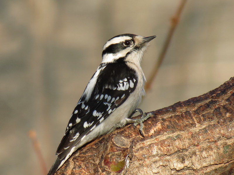 Downy Woodpecker.<br /> I like this photo because the subject is lit by the bright morning sun.<br /> Usually, these birds like to stay in the shadows of the limbs.