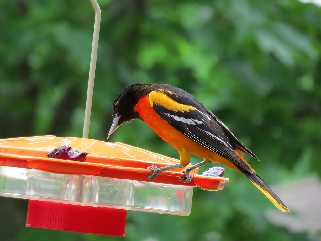Oriole at the feeder on June 1st.<br /> The feeder is crooked because it has been broken and repaired several times.<br /> I think that I will look for a jelly feeder for these birds next spring.