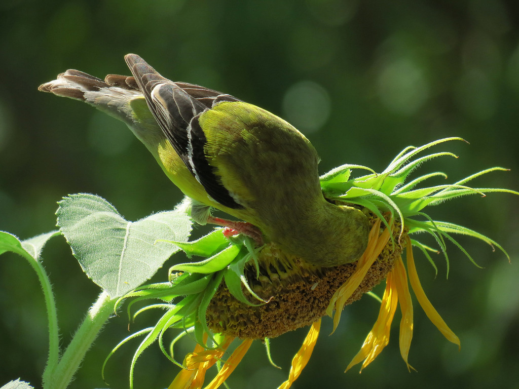 The female American Goldfinch eating sunflower seeds.