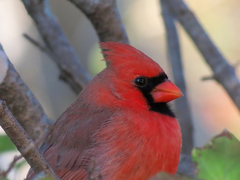 Cardinal in the Lilac tree.