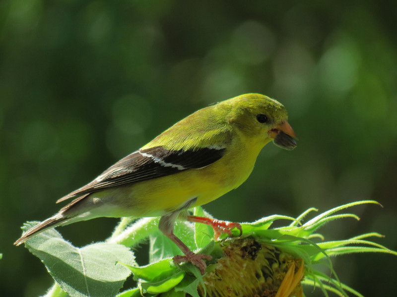 The female American Goldfinch holding a sunflower seed <br /> that she has just pulled from the flower head.