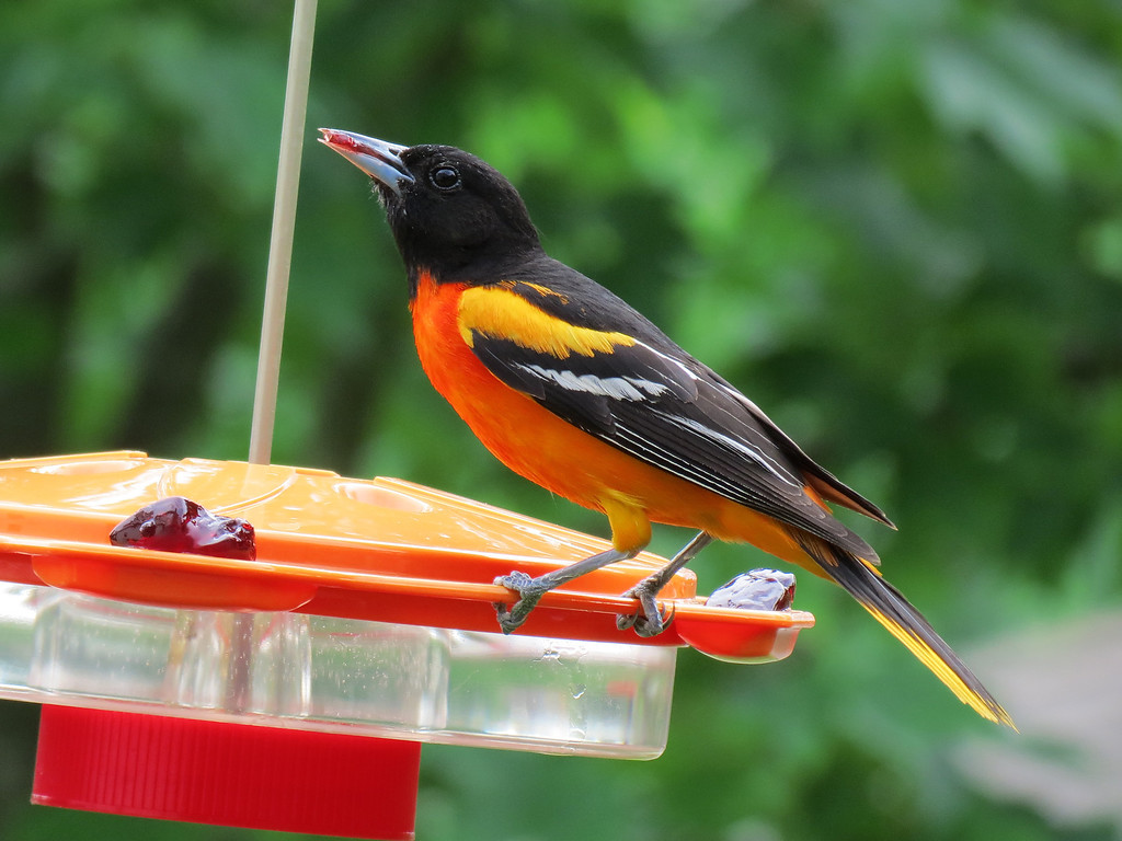 Oriole eating grape jelly.