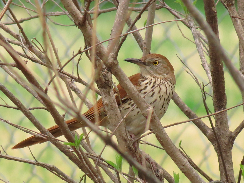 The Brown Thrasher has returned this spring.<br /> Perching in a Beauty Berry Bush (Callicarpa).