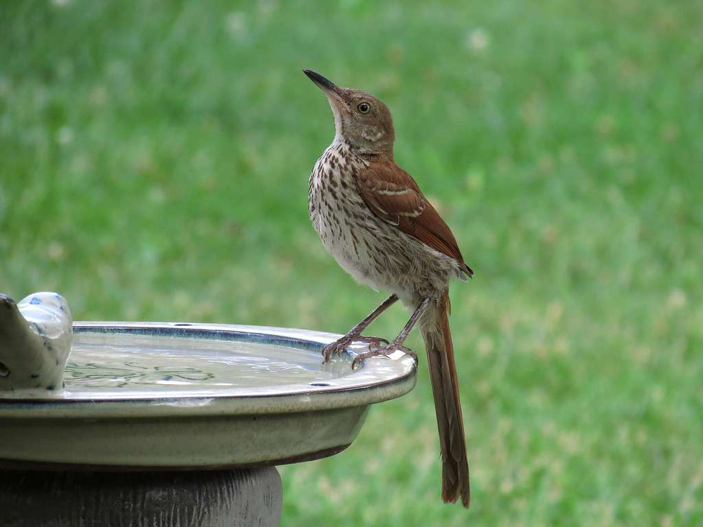 Brown Thrasher showing off its long robust beak, long legs, <br /> long tail feathers and distinctively striped breast coloring.