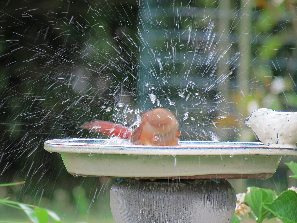 Cardinal taking a bath.