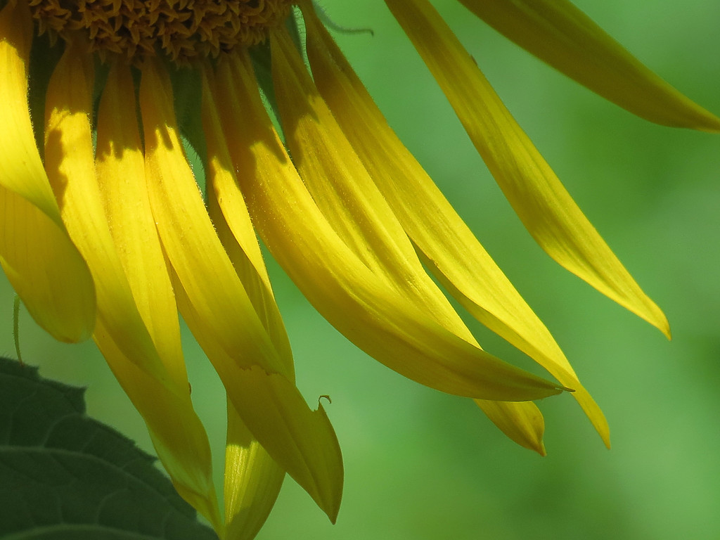 I think the yellow sunflower petals look a little bit like bananas in this image.