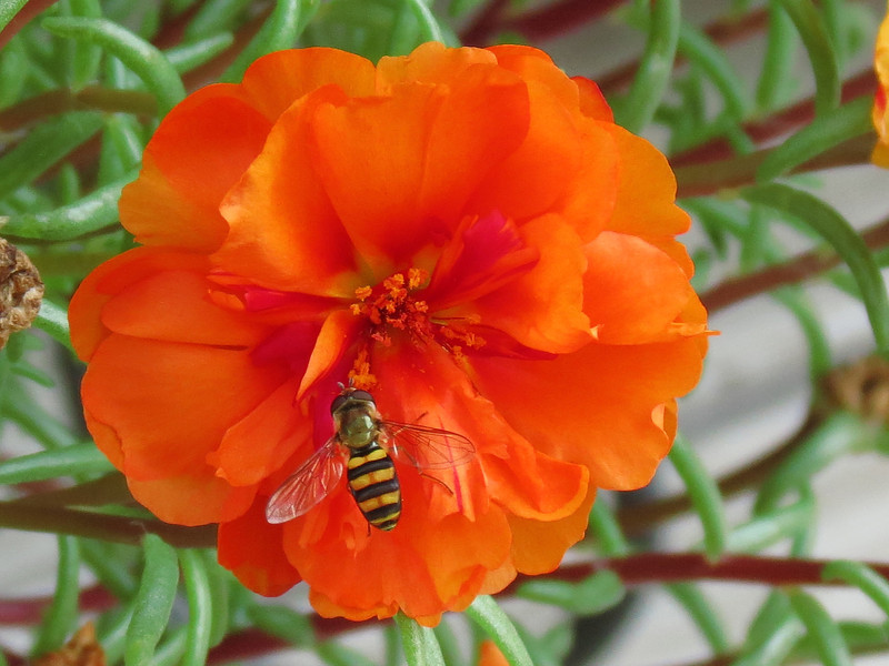 Yellow and Black Bee chooses the Brilliantly Orange Moss Rose.