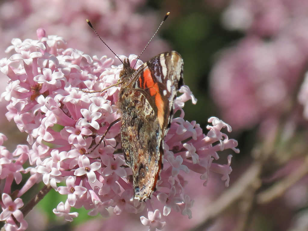 Butterfly on the Lilac tree.