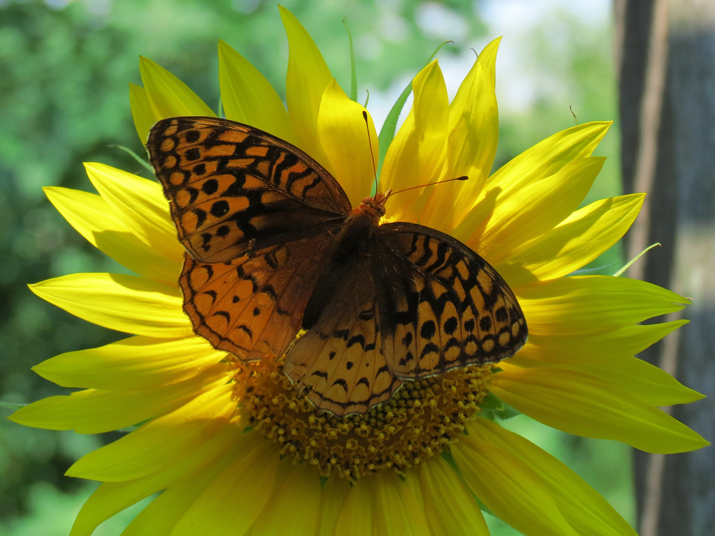 Great Spangled Fritillary Butterfly on The Yellow Sunflower.