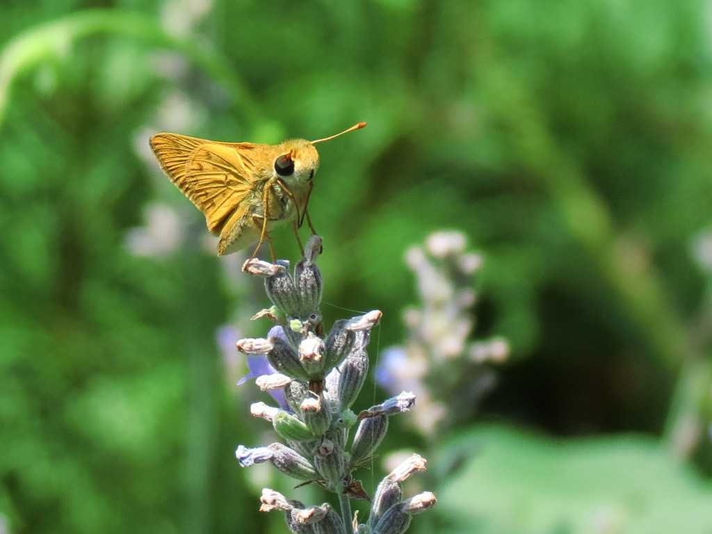 Skipper butterfly on Lavender.<br /> <br /> I know that some people will find this hard to believe but<br /> these little butterflies like me so much that whenever I take my camera to the garden,<br /> they flutter all around me begging to have their picture taken.<br /> You can't refuse because they are cute as a button.<br /> The other day I counted the number of pictures I have taken of these guys and it is over a million now.