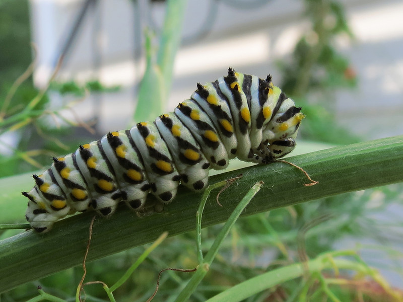 One of the Black Swallowtail caterpillars that are eating the fennel.