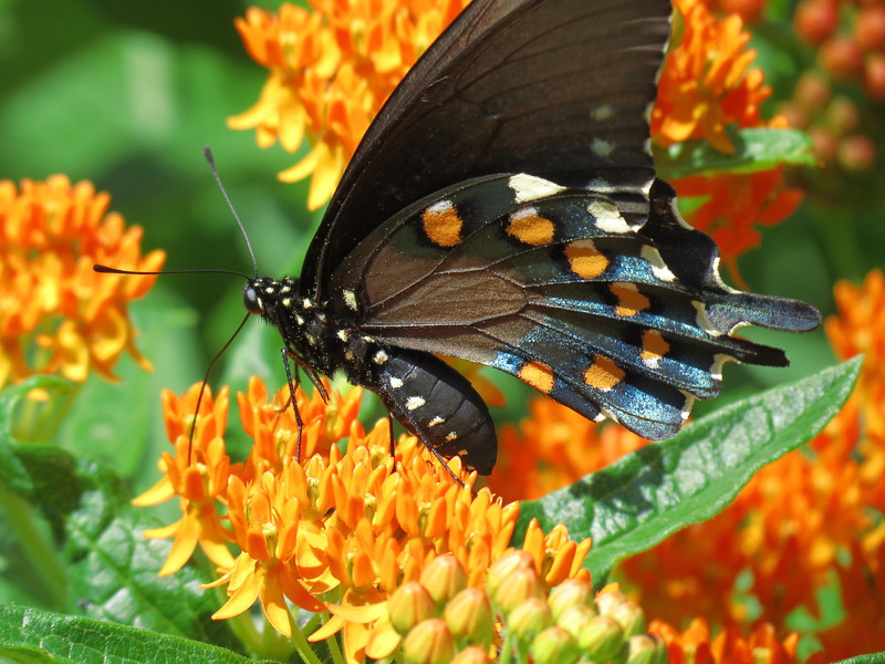 Black swallowtail butterfly on native orange asclepias.