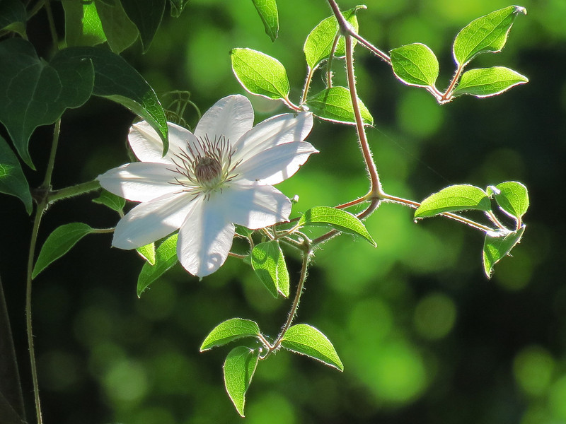 White Clematis back lit by the setting sun.