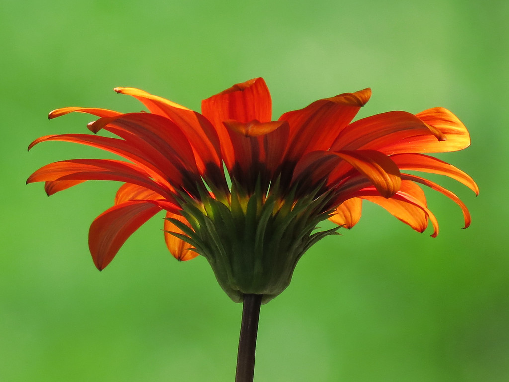 Gazania in summer sunset.