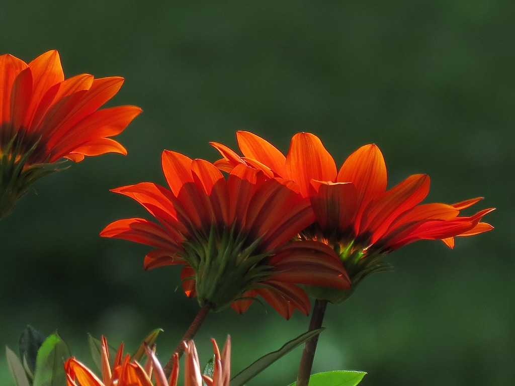 The late afternoon sun shone through these Gazanias and lit them up.