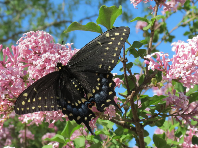 Swallowtail butterfly in the lilac tree.