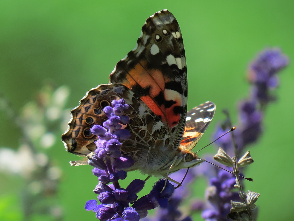 Butterfly on the Blue Salvia.