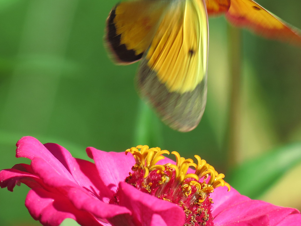 I thought this was interesting.<br /> The green-eyed Butterfly took flight when I pressed the shutter.