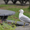 Seagull waiting for food, Marineland, Niagra Falls