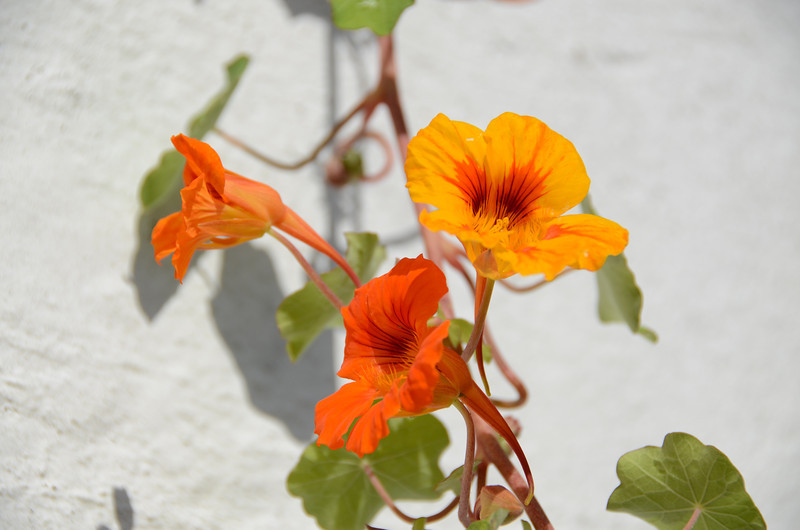 A group of flowers growing on a wall, St. Georges Bermuda.