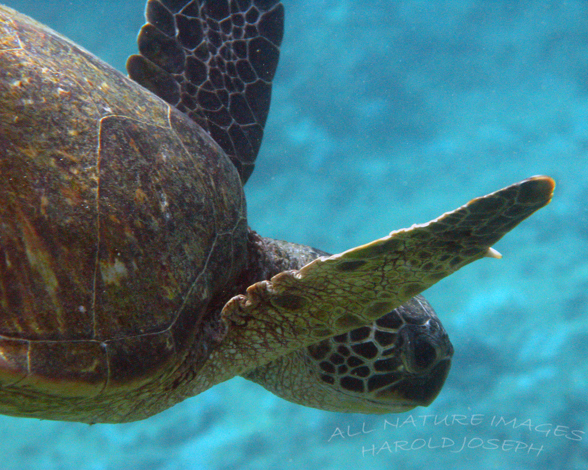 Green Sea Turtle, Hawaii