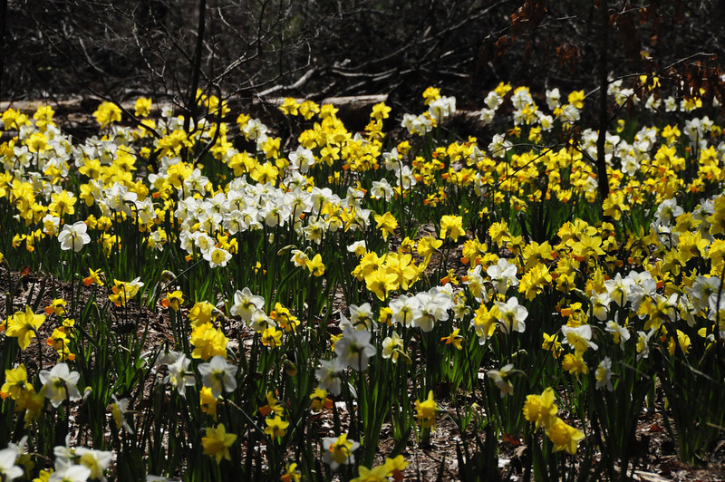 Daffodils, Garvan Woodland Gardens, Near Hot Springs, AR