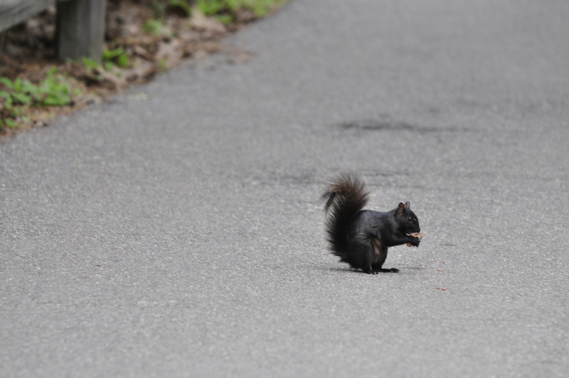 Black Squirrel, Detroit Zoo, MI