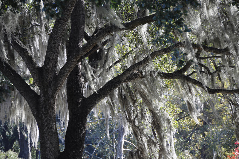 Moss in the trees, City Park, New Orleans, LA