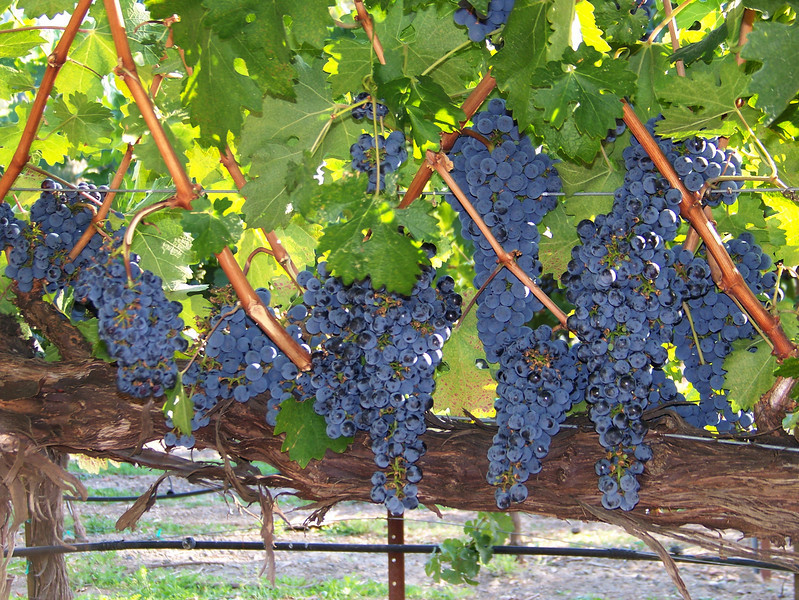 Grapes ready for harvest, Sterling Winery, Napa Valley, California