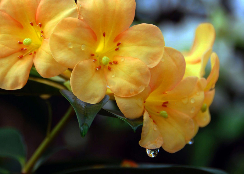 Flowers with a drop of water, Kaanapali, Maui.