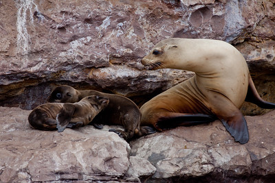 Sea Lion  Los Coronados Islands Mexico 2010 06 16 (9 of 9).CR2