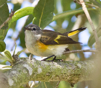 American Redstart  Encinitas  2012 12 10 (2 of 7).CR2
