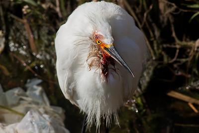 Snowy Egret  Encinitas 2011 03 08-1.CR2