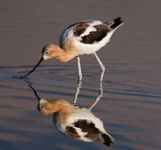American Avocet  Owens Lake 2010 07 18-4.CR2