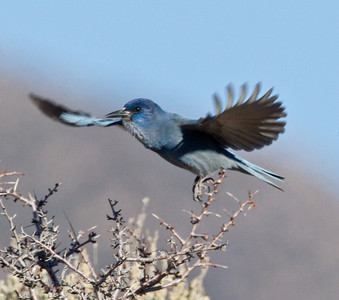 Pinyon Jay  Bridgeport Reservoir 2011 11 25 (2 of 5).CR2