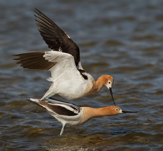 American Avocet  Crowley Lake 2012 05 22 (5 of 10).CR2