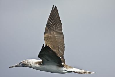 Blue-Footed Booby San Diego Waters 2009 03 05-6.jpg