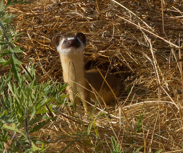 Long-tailed Weasel San Luis Rey 2012 05 27 (1 of 2).CR2 (3 of 3).CR2