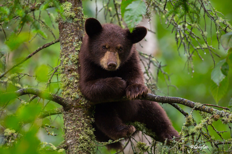 Cinnamon colored black bear cub climbs a spruce to get a little protection from the morning rain. This series of photos of this cub (some later in the gallery) were taken in very low light dark conditions around 6 am.