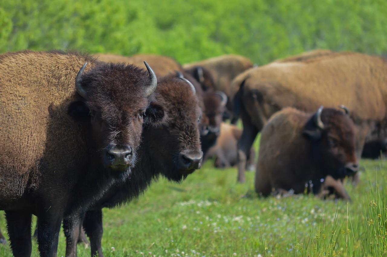 American Bison/American Buffalo (Bison bison)