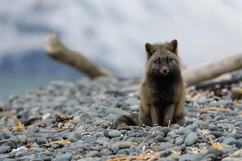 Silver Fox (Vulpes vulpes)