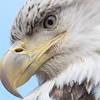 Bald Eagle (Haliaeetus leucocephalus)