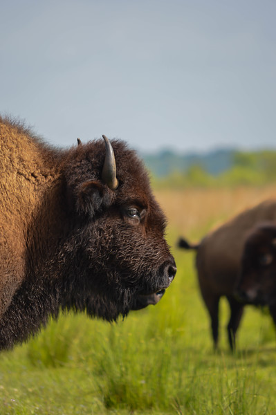 American Bison/American Buffalo (Bison bison)