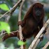 Guyanan Red Howler Monkey (Alouatta macconnelli)