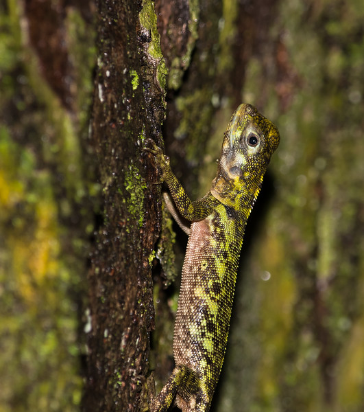 Blue-lipped Tree Lizard (Plica umbra)